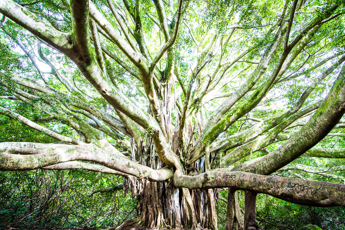 Banyan Bliss <h5>Metal Print</h5> <h5>$150 - $1,000</h5> <h5>click for more details</h5>