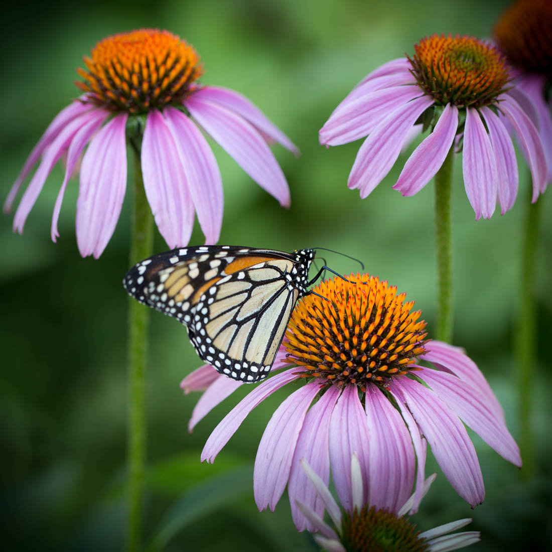 Echinacea <h5>Metal Print</h5> <h5>$150 - $650</h5> <h5>click for more details</h5>