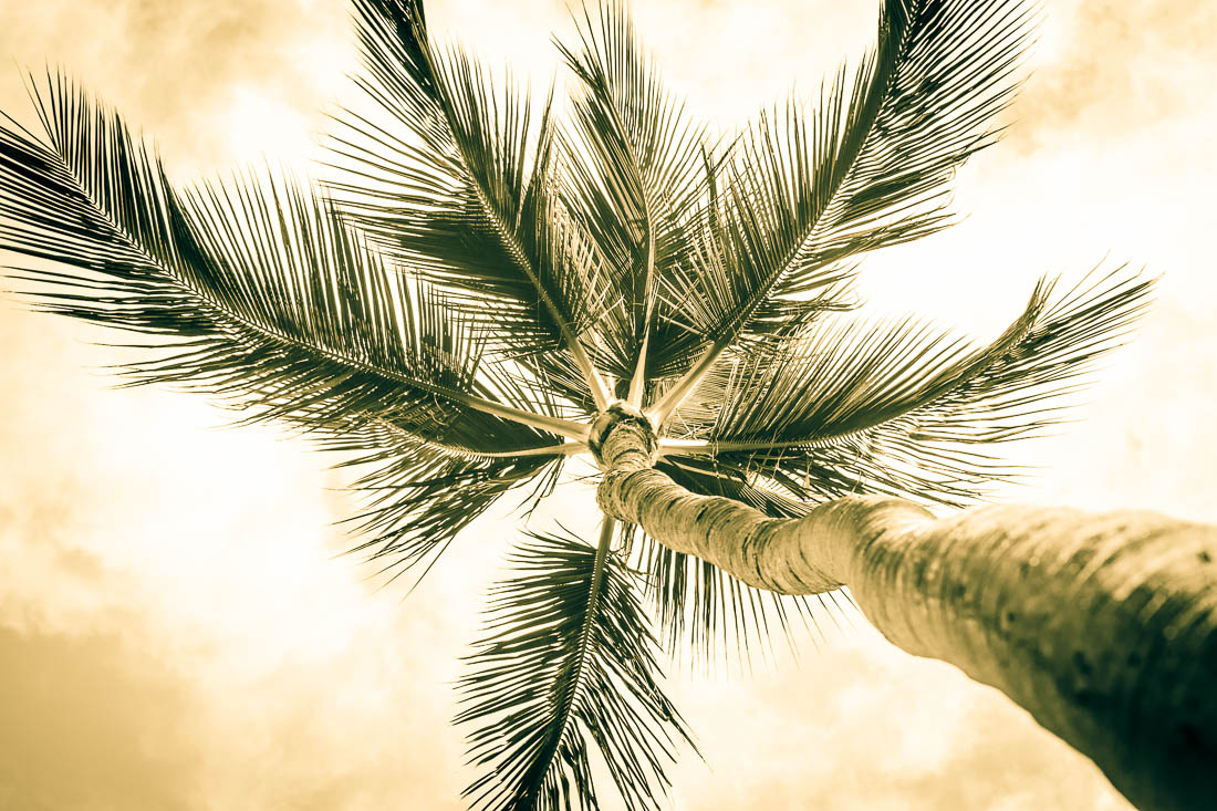 Sepia Palm <h5>Metal Print</h5> <h5>$150 - $1,000</h5> <h5>click for more details</h5>
